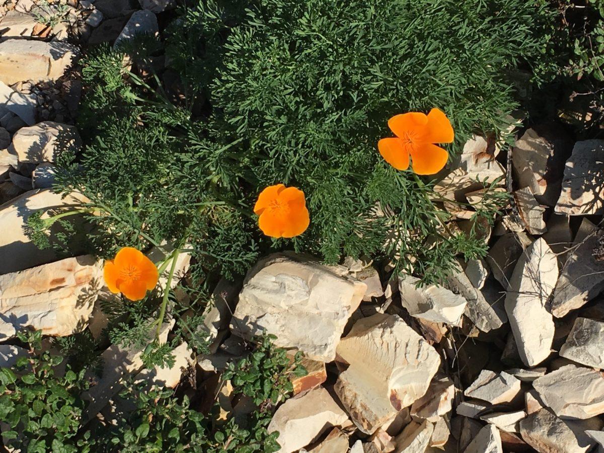 Poppies on the trail to Valencia Peak (near Morro Bay)