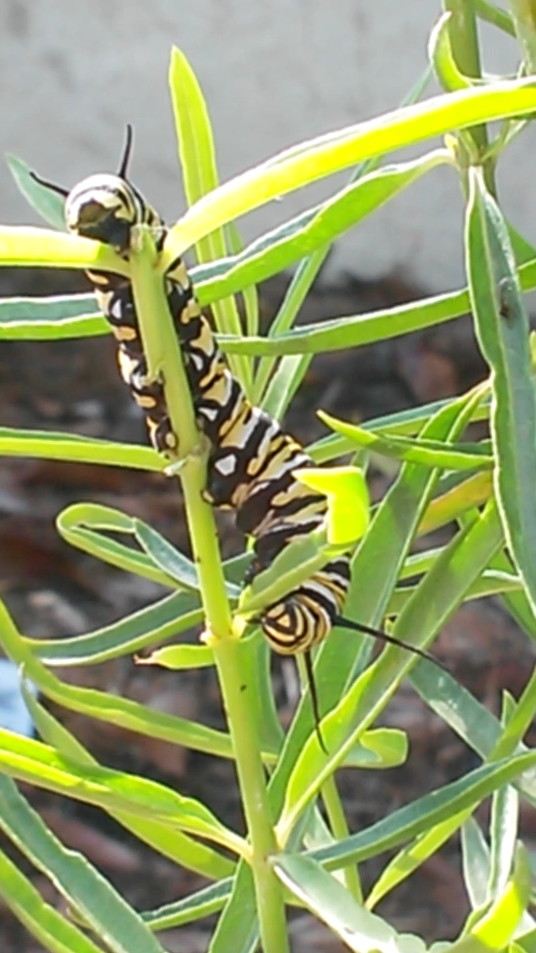 Photo of Upside Down Monarch Caterpillar