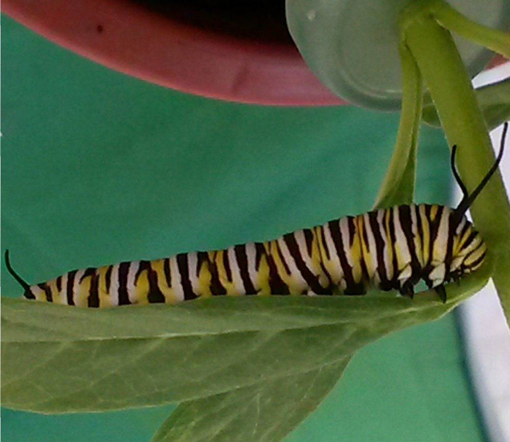 Photo of fifth instar caterpillar eating voraciously, preparing for a final moltand the chrysalis stage.