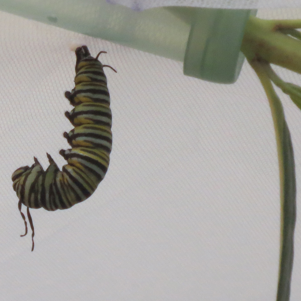 "Photo of ""Seven"" in the ""J"" shape; the chrysalis stage is imminent. He will molt once more in this position."