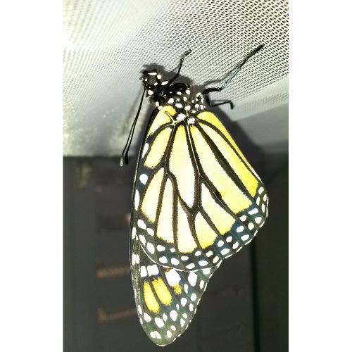 Photo of butterfly within minutes of emerging from the chrysalis.
