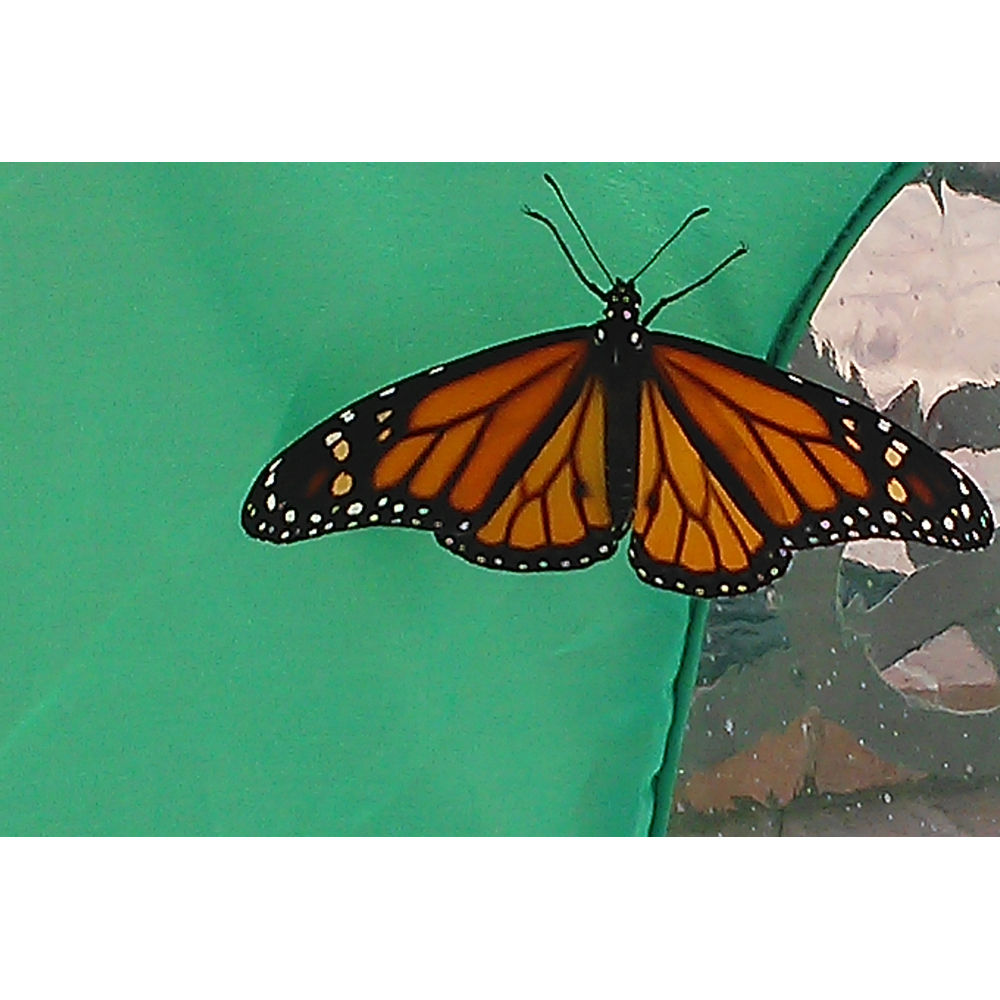 Photo of Monarch ready to fly