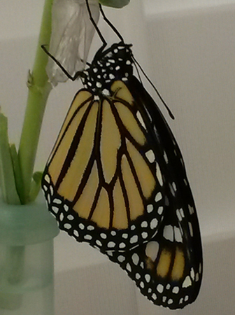 Photo of Monarch hanging onto a milkweed stem while the wings fill out with hemolymph.