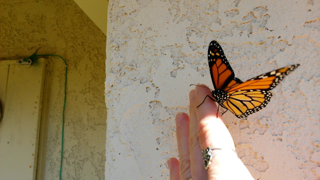 Photo of a Monarch about to fly away.