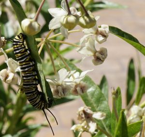 """Photo of a Monarch caterpillar """"buzz-sawing"""" its way through an Asclepias physocarpa milkweed leaf."""