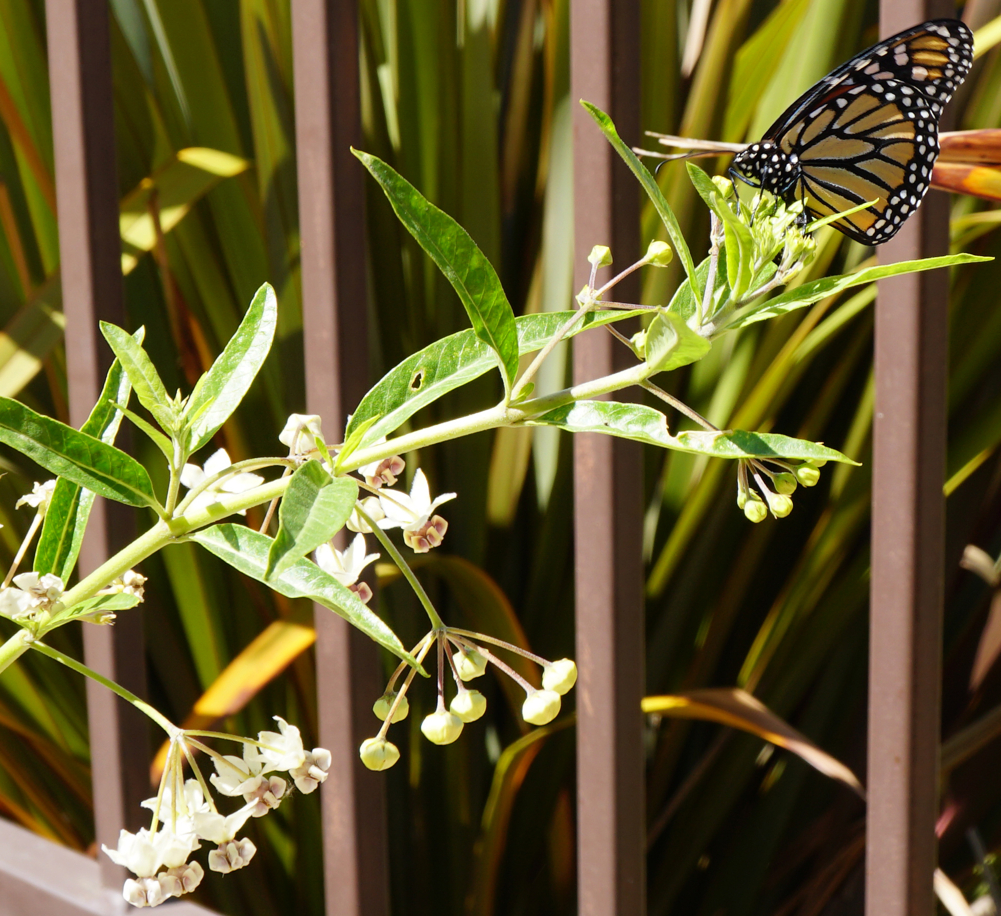 Photo of a female monarch laying eggs.