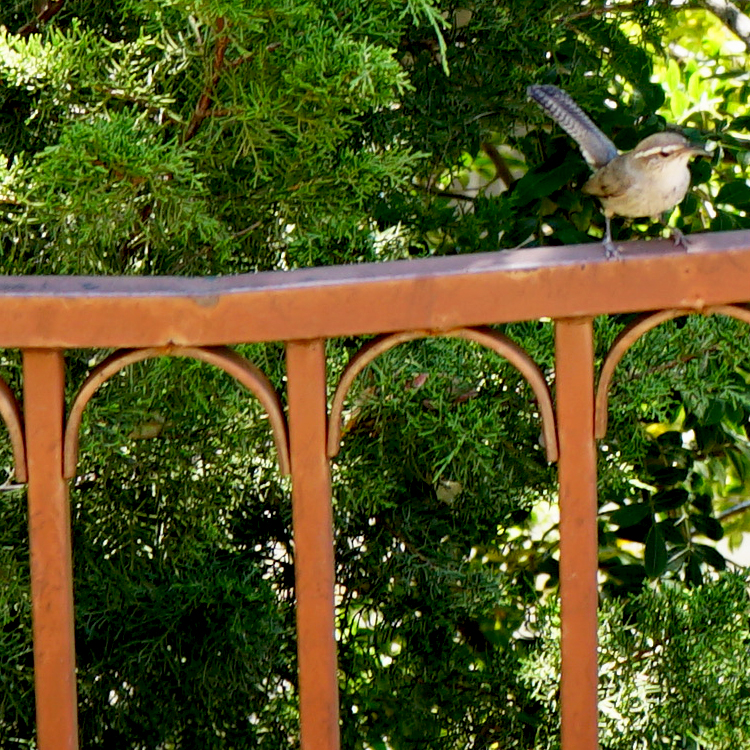 Photo of a Bewick's wren perched on a backyard railing