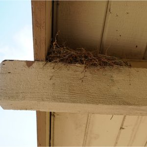 Photo of the House finch nest