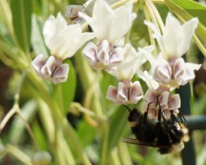 "Photo of a Yellow-faced Bumble Bee visiting flowers on a a Balloon Plant aka ""Family Jewels Tree"" milkweed."