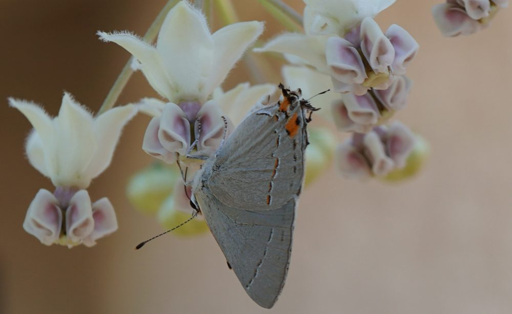 Photo of a Grey Hairstreak Butterfly