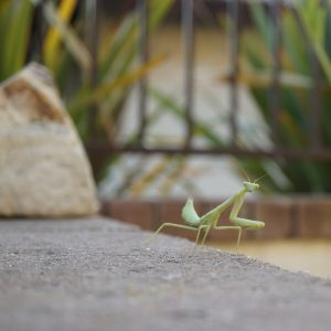 Photo - On a windy day the praying mantis was blown off the milkweed and landed on an adjacent wall. I snapped a photo before returning her to camouflaged safety. (Photo by S. Felton)