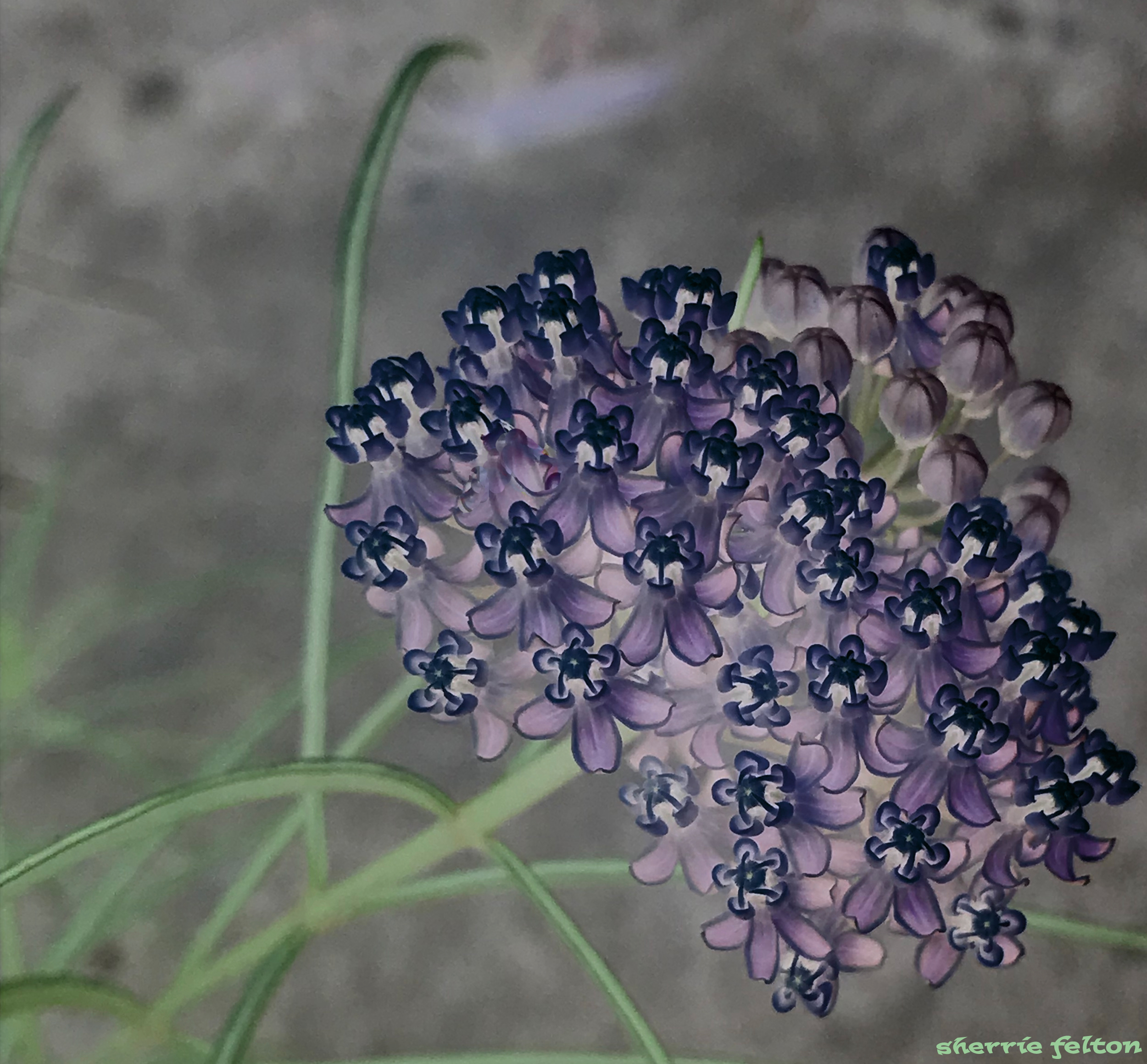 Photo of a cluster of Narrowleaf milkweed blossoms through an after midnight filter.