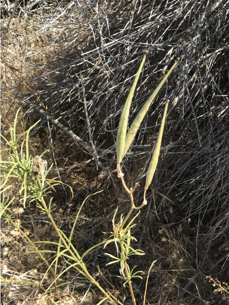 Photo of three Narrowleaf seed pods, lots of seeds, no special color effects.