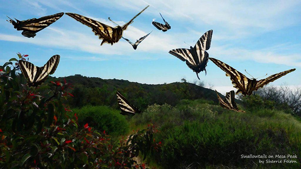 Photo of Swallowtails on Mesa Peak