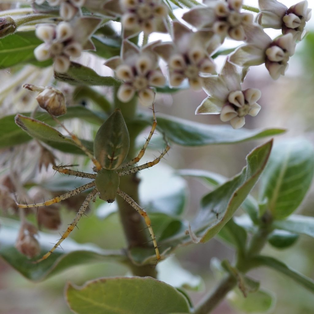 Photo of a Green Lynx Spider on a milkweed plant that shares her coloration