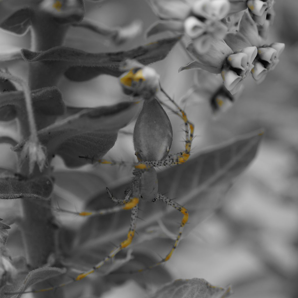 Black and white and spot color yellow photograph of a Green Lynx spider
