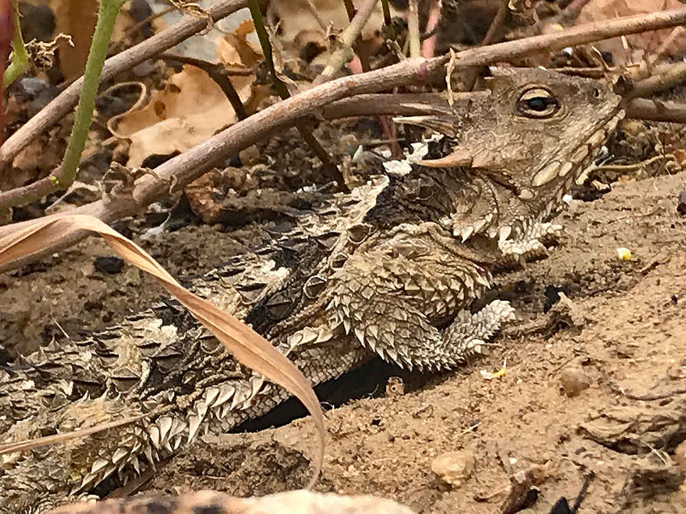Photo of a Blainville's Horned Lizard relying upon camouflage to blend in with its surroundings.