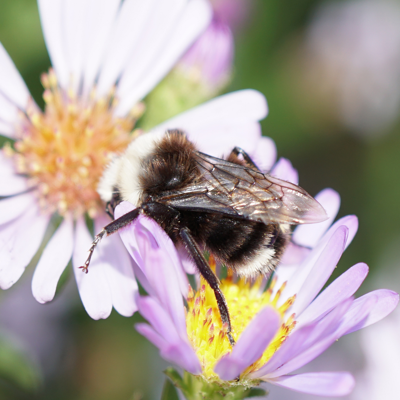 Photo of a male Yellow-faced Bumble Bee at rest on a aster flower