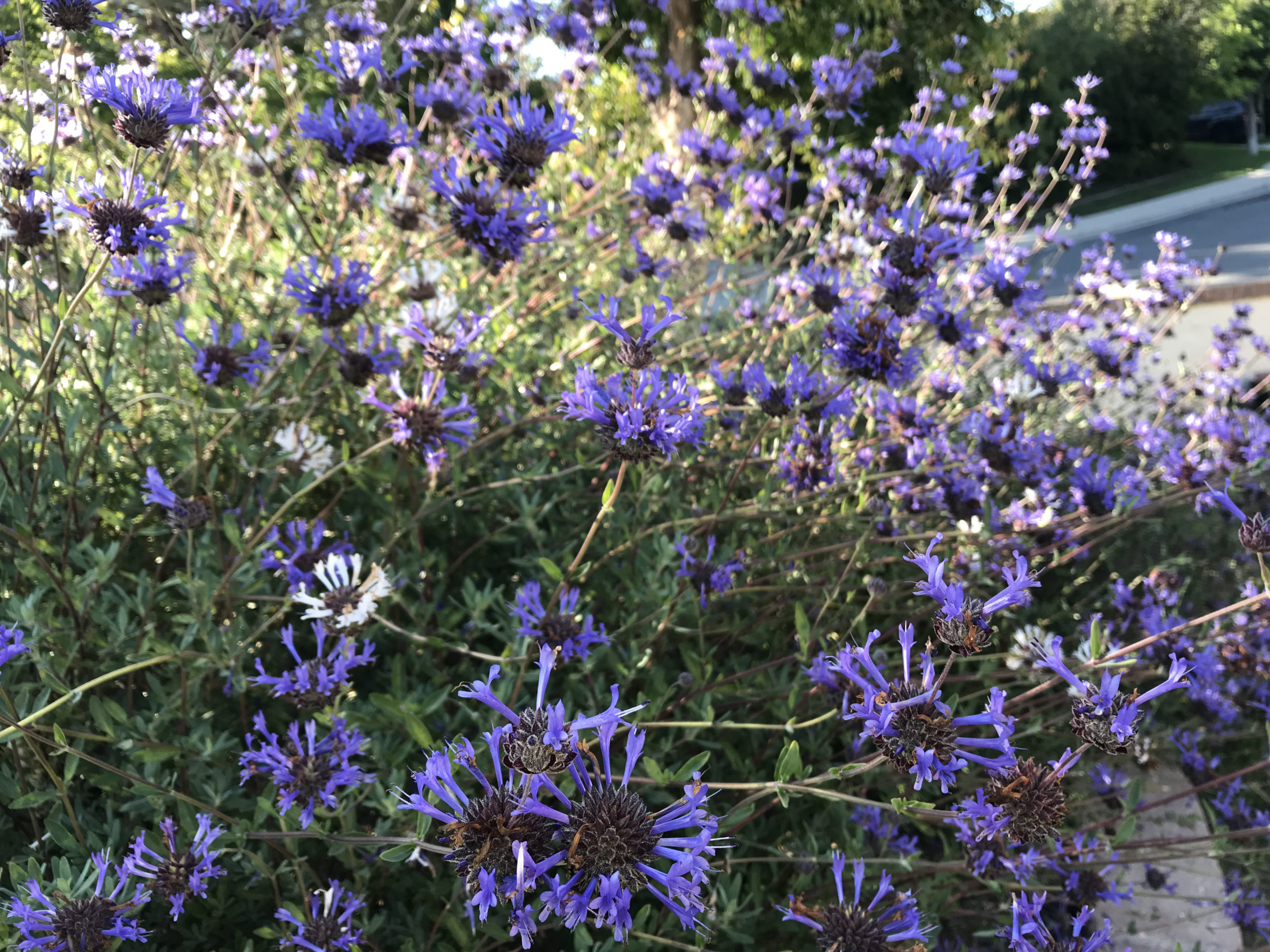 Photo of the Cleveland Sage shrubs that I write about in this post