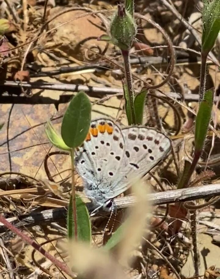 Photo of an Acmon Blue butterfly on Spanish Lotus plant