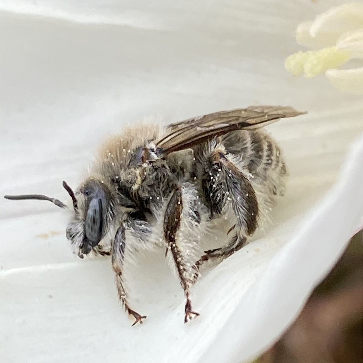 Photo of a Bindweed Turret bee resting on a bindweed flower.