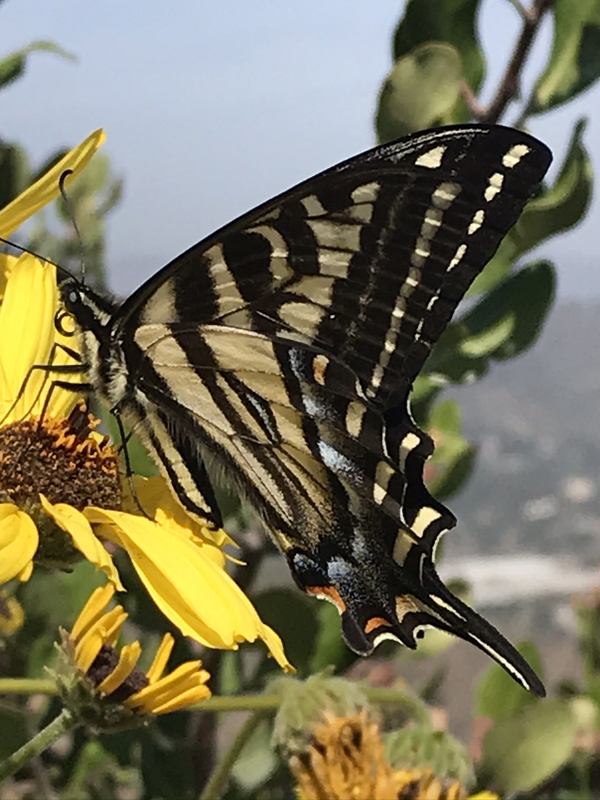 Photo of Papilio eurymedon, a Pale Swallowtail foraging on Encelia farinosa or Brittlebush
