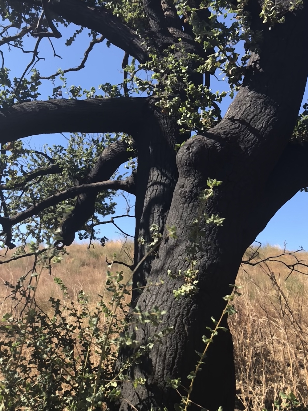 Photo April 2020: A singed oak on the Rocky Incline Trail, resprouting with enthusiasm.